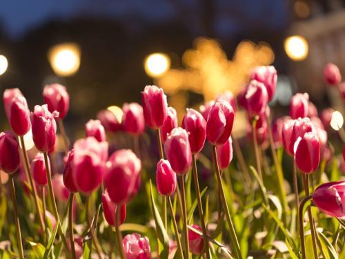 ホテルアムステルダム / DP【鮮やかな色の祭典】100万本の大チューリップ祭(チューリップベア・朝食・パスポート付)